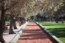 Olívulundur í Bahjí